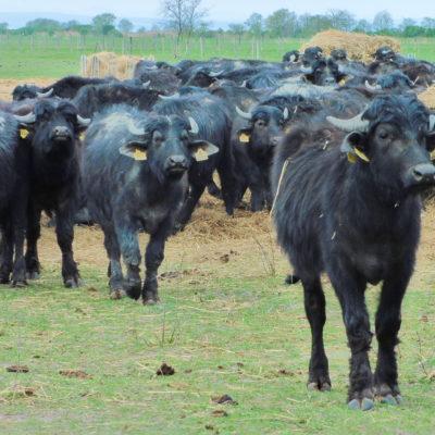 Fekete bivalyok