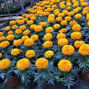 5000 tő virág vár gazdára